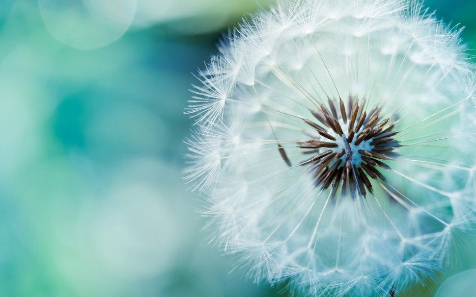 22 dandelion flower p