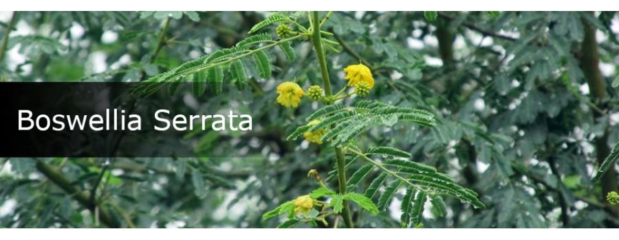 Boswellia serrata 4 900x350w