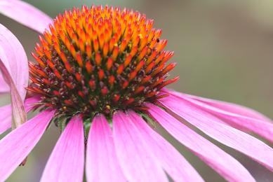 Fleur d echinacee echinacea purpurea a425f